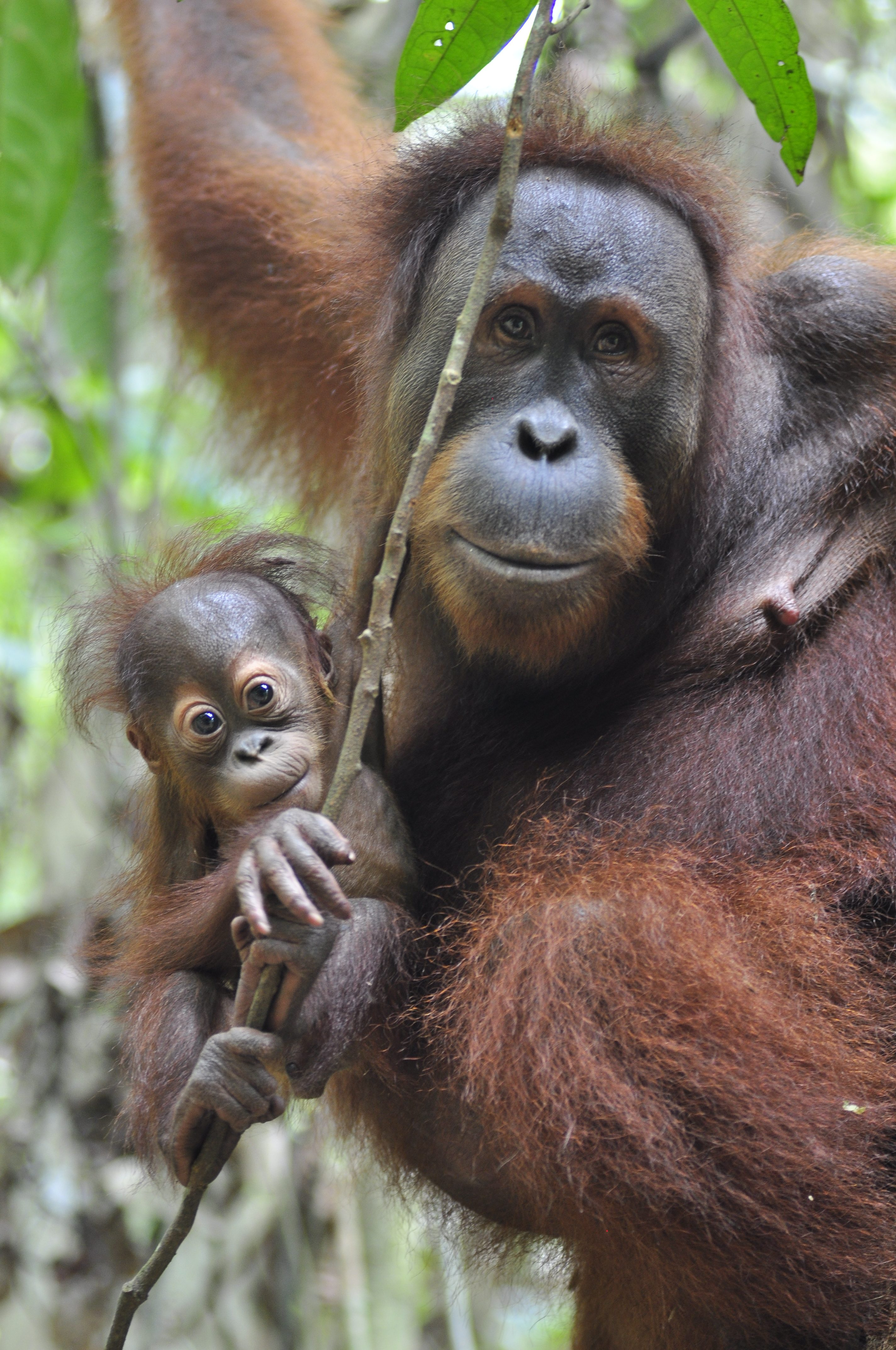 the orangutan project